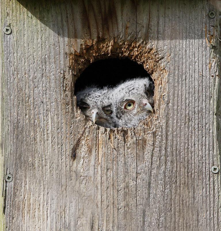 Eastern Screech Owl [young]