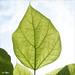 Catalpa leaf at Westonbirt Arboretum.