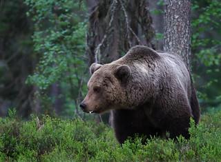Brown bear (Ursus arctos), Viiksimo, Kainuu region, Finland