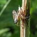 Small Fleck-winged Snipefly - Rhagio lineola