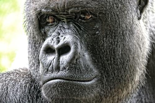 Portrait vom Silberrücken Makula dem Anführer der Flachlandgorillas