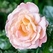 Oxford garden rose
