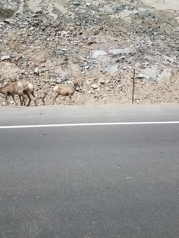 Bighorn sheep near Eastes Park, Co