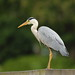 Sammy the Grey Heron