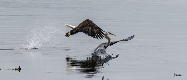 Eagle & Heron