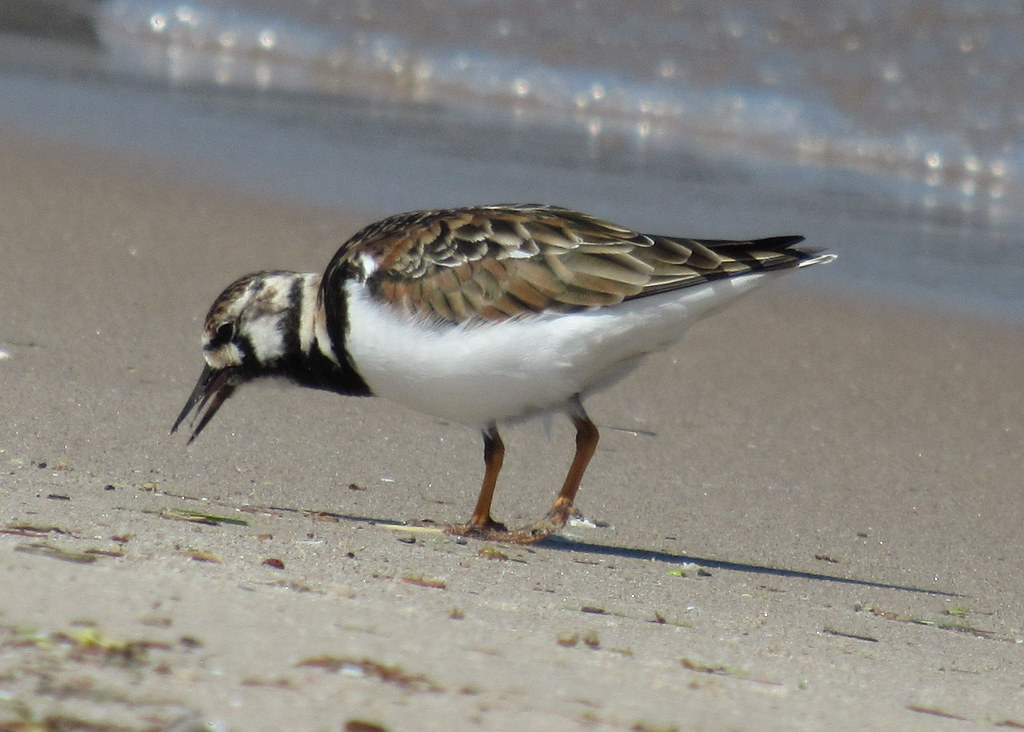 Ruddy Turnstone #2
