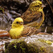 Yellowhammers  Bath time