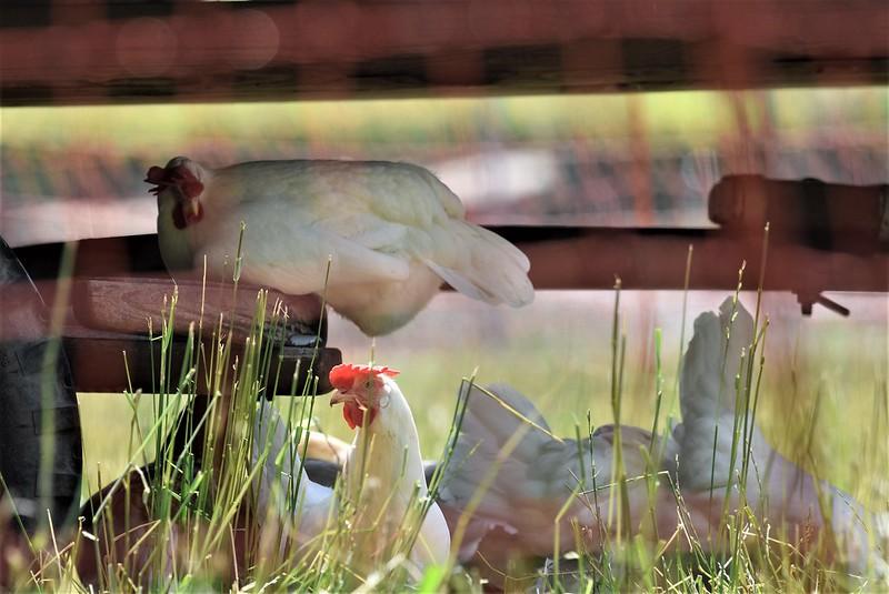 Chicken 08.06 (9)