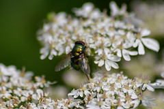 Greenfly on cow parsley flower