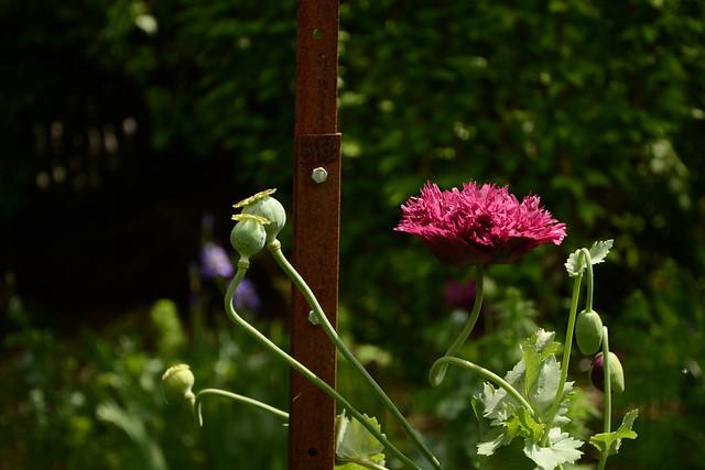 les jardins sont beaux en mai ! - Page 6 41621591844_a318fdc25a_z