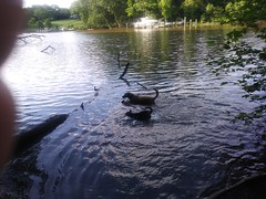 Bree and Pepper swimming at Quiet Waters Park