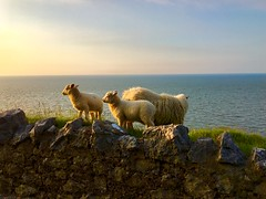 Sheep - Explore