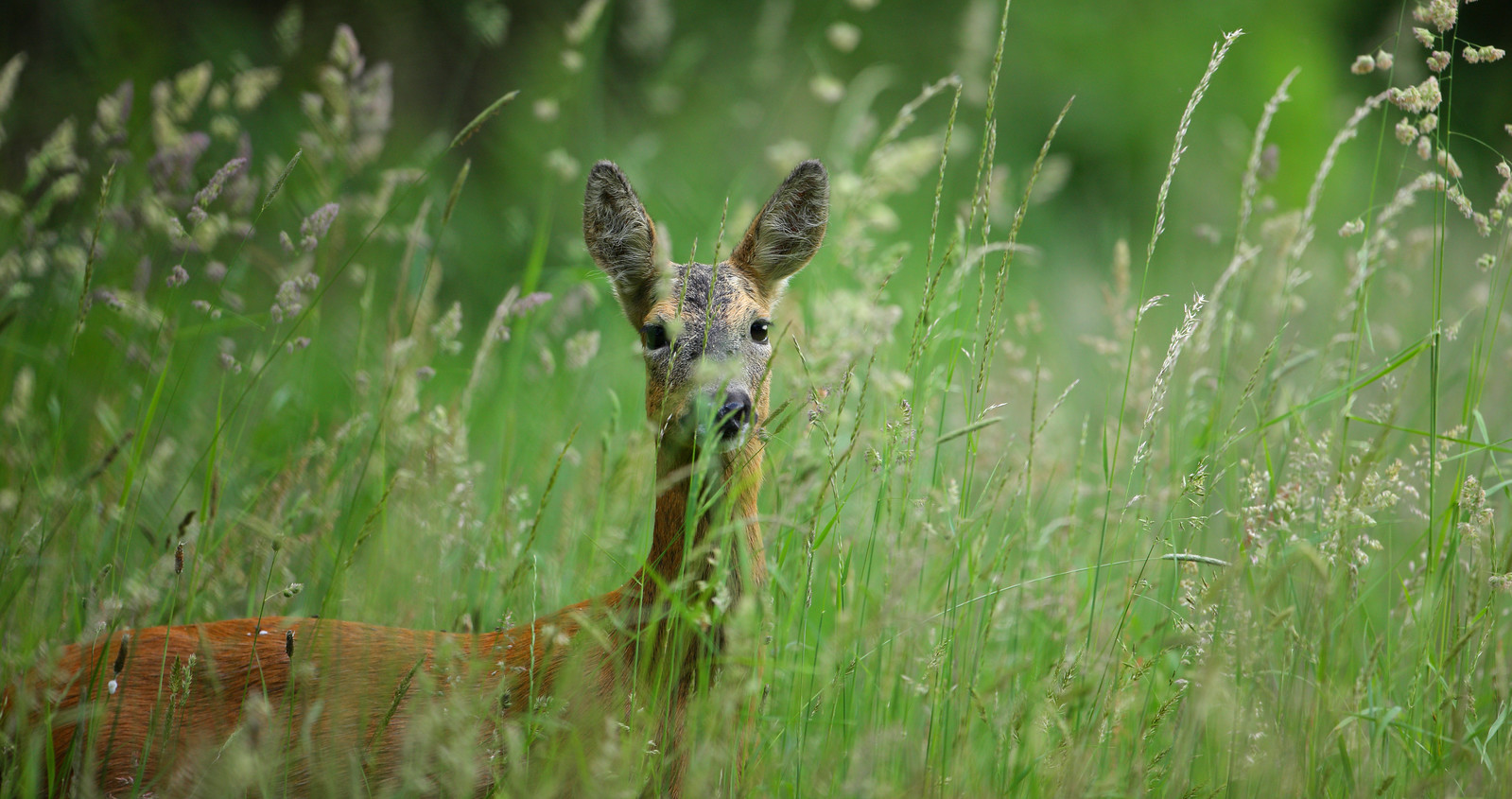 Roe deer hiding in meadow