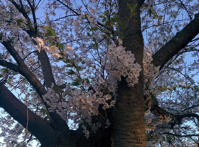 Sakura from the north (4) #toronto #highpark #sakura #cherryblossom #latergram