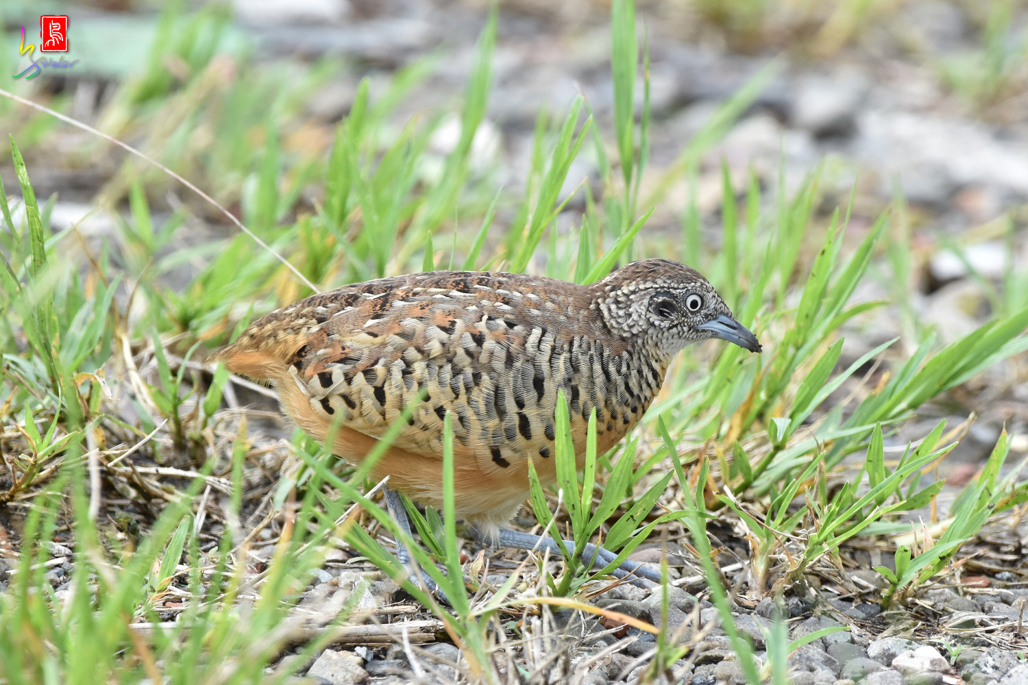 Barred_Buttonquail_4633