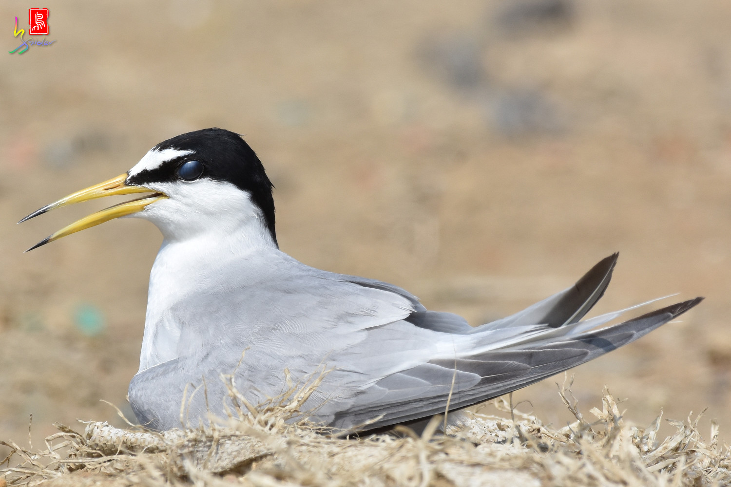 Little_Tern_9080