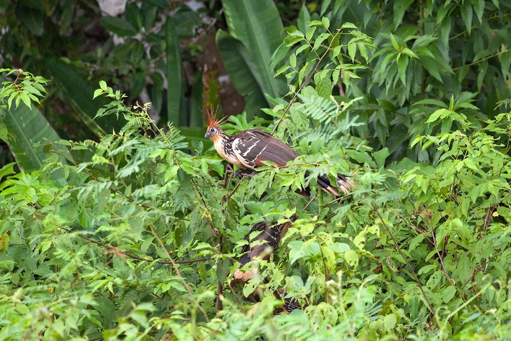 Гоацин (Opisthocomus hoazin)