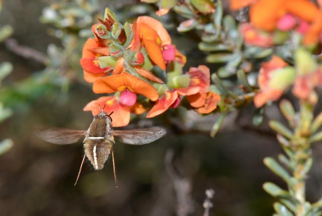 Bee fly - Sisyromyia sp