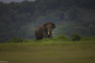 An Asian elephant with its majestic beauty in monsoon