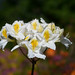 Rhododendron 'Persil' by mellting