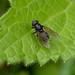 Hoverfly - Cheilosia impressa