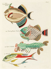 Colourful and surreal illustrations of fishes and lobster found in Moluccas (Indonesia) and the East Indies by Louis Renard (1678 -1746) from Histoire naturelle des plus rares curiositez de la mer des Indes (1754).