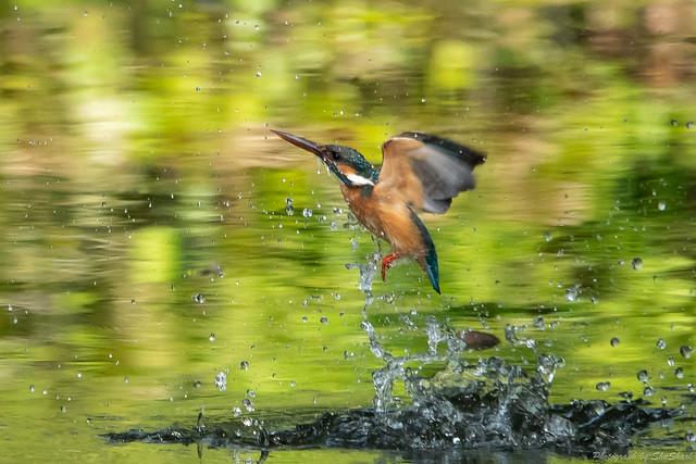 20180527-kingfisher-DSC_2566
