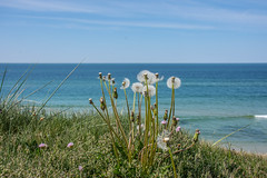 WITHERED DANDELIONS BY THE SEA, 2
