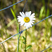 Don't fence me in ! I'm a Wild Flower !