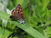 Photo:Common copper butterfly (ベニシジミ) By Greg Peterson in Japan