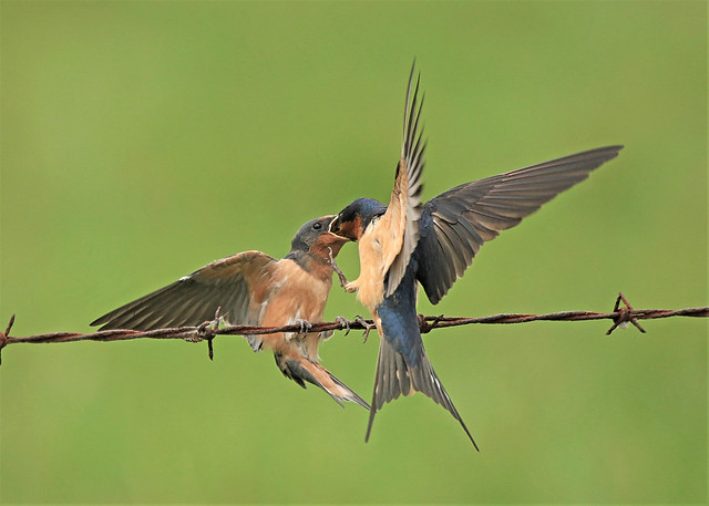 Barn Swallow parenting