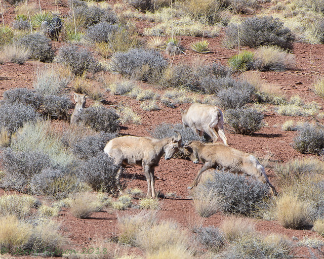 Canyonlands Shafer Trail Desert Bighorn 02-24-2018