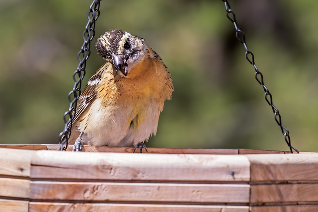 Black-headed-Grosbeak-6-7D2-050918
