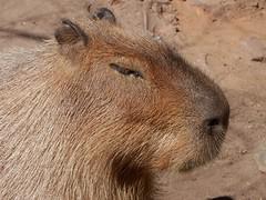 Hairy Capybara