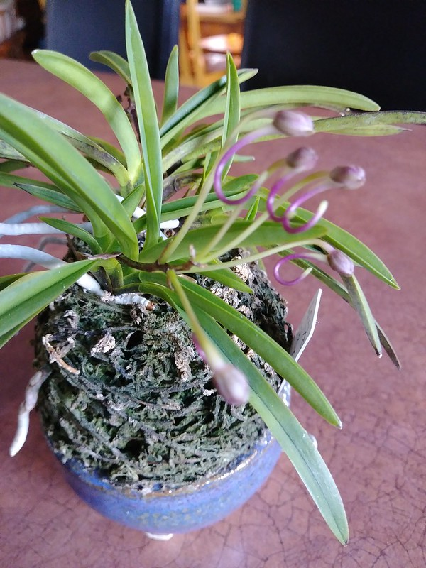 Orchidées chez lavandula - Page 12 41681567525_01718132e8_c