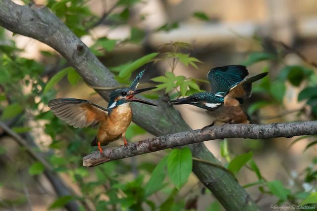 20180602-kingfisher-DSC_3951