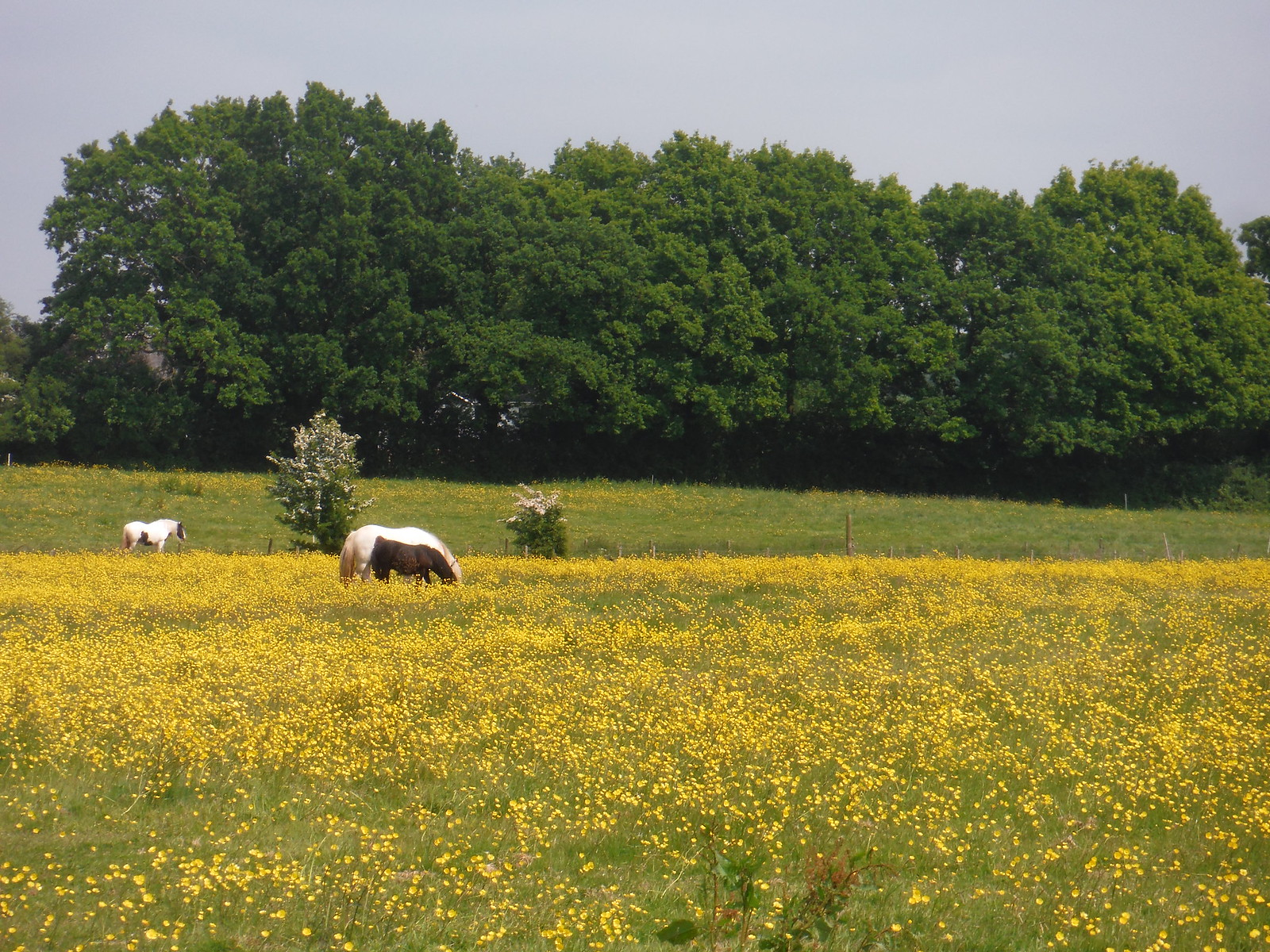 Horses in Wildflower Meadow SWC Walk 158 - Ingatestone to Battlesbridge or Wickford