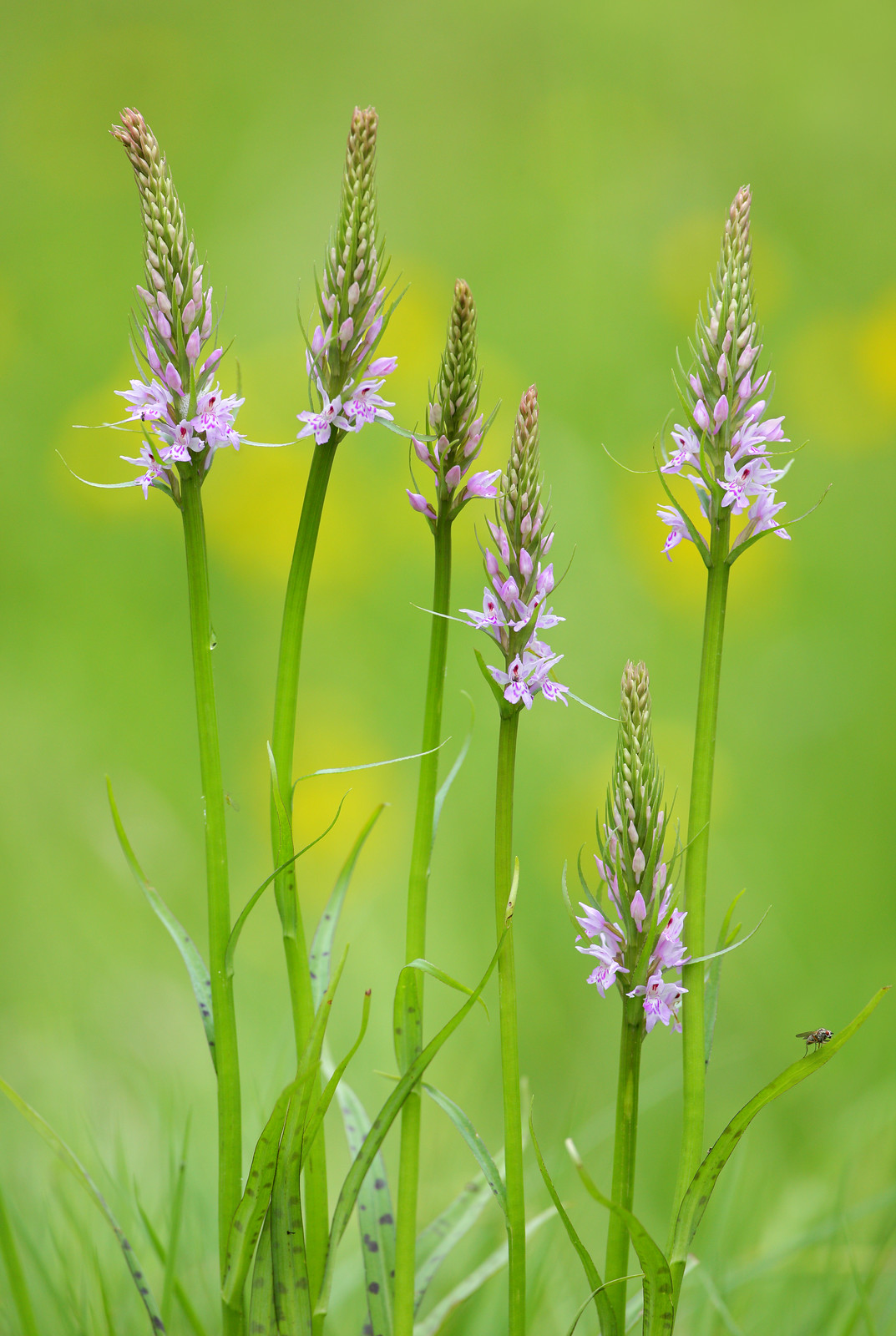 Meadow Orchids