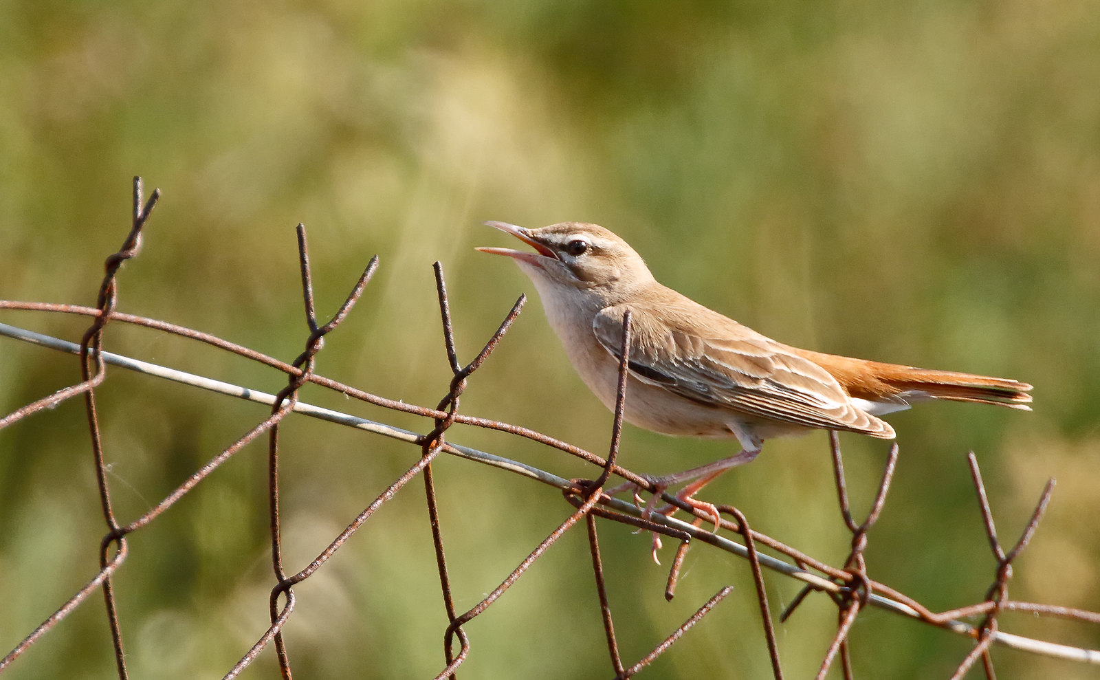 Rufous Bush Chat