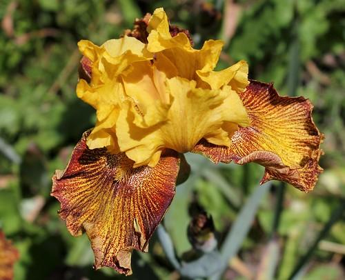 Iris 'Jitterbug' - Keith Keppel 1988 42379956251_95e31592bf