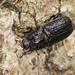 Rhinoceros Beetle - Sinodendron cylindricum (f)