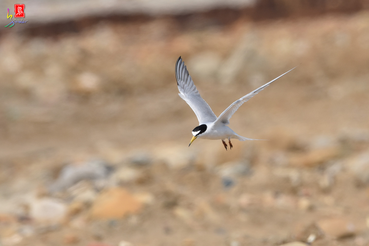 Little_Tern_0056