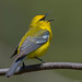 Blue-winged Warbler by Chuck Hantis