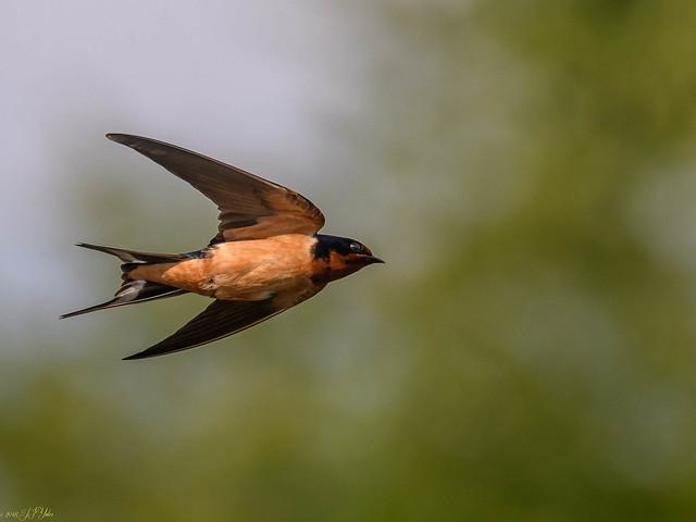 Barn Swallow, Nikon D500, AF-S Nikkor 300mm f/4E PF ED VR