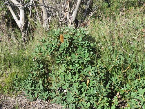Banksia paludosa