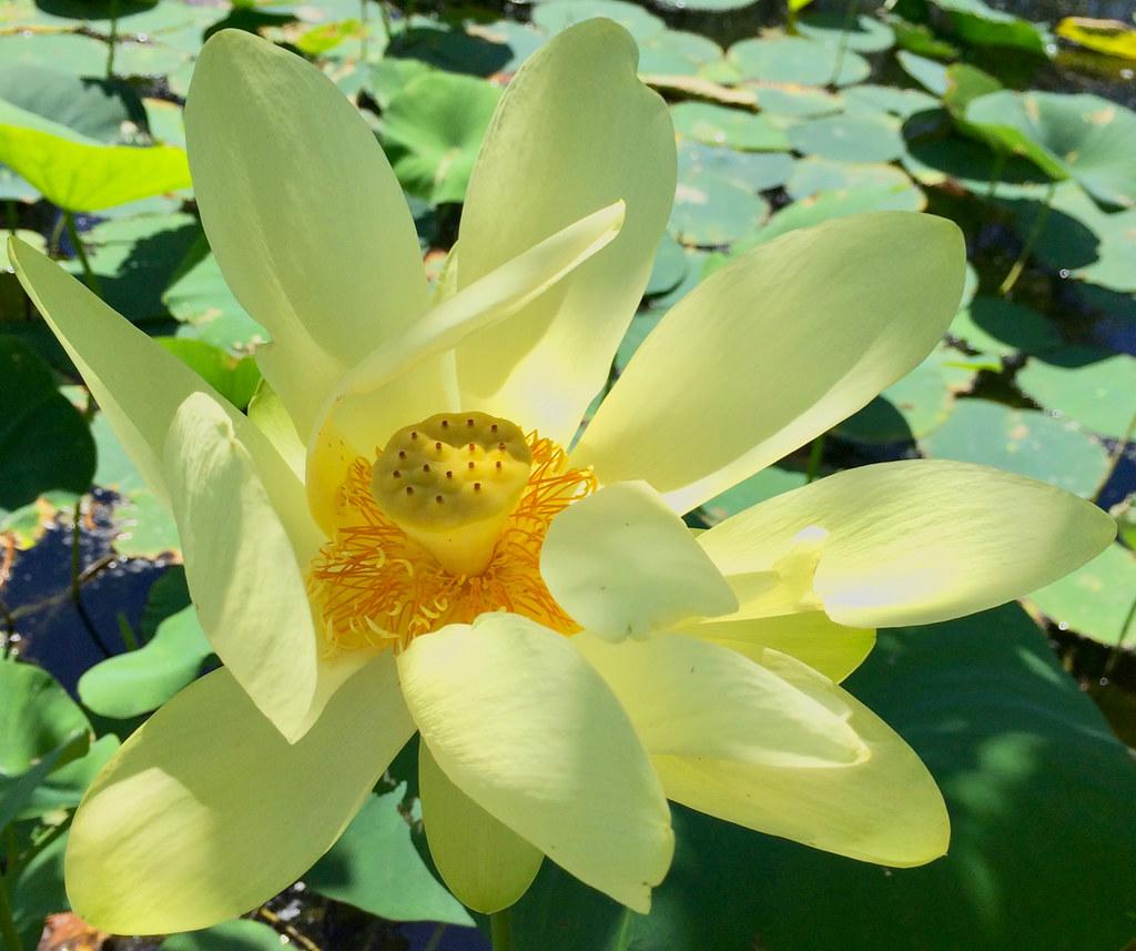 Foraging Texas Lotus