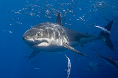 Image by George Probst (sharkpix) and image name The world's coolest great white shark photo  about I was digging through my archives yesterday and found this shot of the legendary Cal Ripfin (aka Shredder) that I've never shared on Flickr before.   Cal was an adult male measuring around 14' (4.2m) in length. He was a regular at Guadalupe, since at 2001 (when the white shark photo identification p