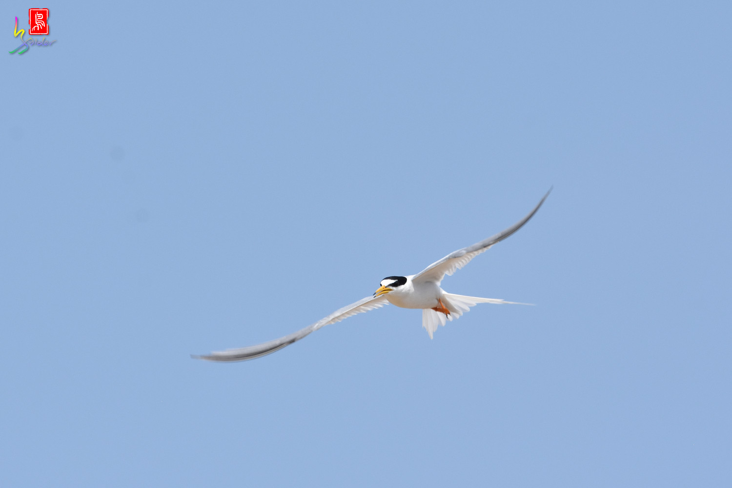 Little_Tern_9947