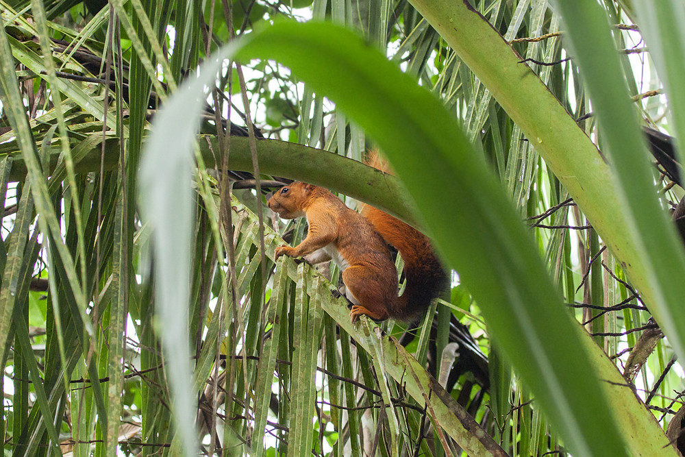 Southern Amazon red squirrel (Sciurus spadiceus)