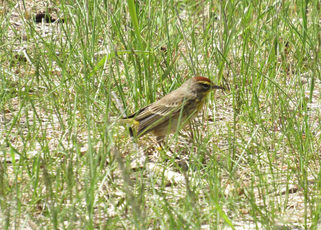 Blurry Palm Warbler